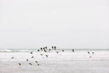 Oyster Catchers Flying Along T...