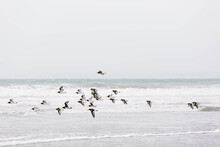 Oyster Catchers Flying Along The Edge Of The Ocean.