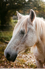 White Dappled Horse With Fluffy Light Mane In Countryside