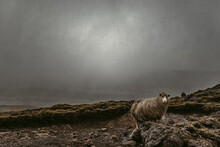 Solitary Sheep On Rocky Hillside In Cool Windy Weather