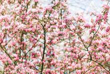 Pink Crab Apple Blossom
