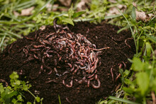 Bunch Of Living Worms Put Onto...