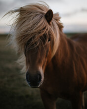 A Portrait Of The Icelandic Ho...
