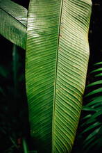 Green Plant: Banana Tree Leaf.