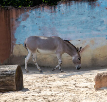 View Of A Somali Wild Ass, A Very Endangered Subspecies Of The African Donkey