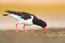 Oystercatcher In Co. Wesford. Our Ladys Island