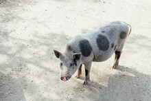 Wild Boar Pig Pig Animals In T...