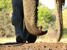 Closeup Shot Of An Elephant Pr...
