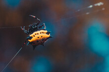 Closeup Shot Of A Yellow Spiny-backed Orb-weaver Spider Spinning Its Web