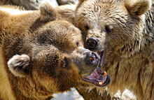 Two Brown Baby Grizzly Bears Playing With Mouths