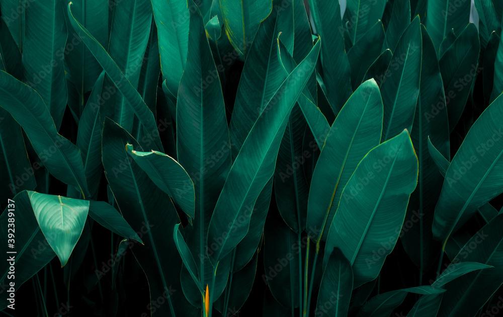 Fototapeta closeup nature view of tropical leaf background, dark tone concept