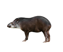 Gray Tapir Animal Isolated On A White Background