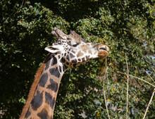 Closeup Shot Of A Giraffe Reaching For Food On Trees