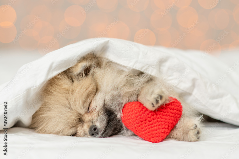 Fototapeta Cute Pomeranian spitz puppy sleeps on a bed at home with red heart on festive background. Valentines day concept