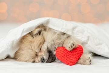 Panel Szklany Boks Cute Pomeranian spitz puppy sleeps on a bed at home with red heart on festive background. Valentines day concept