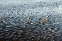 Many Geese And Ducks On The Ri...