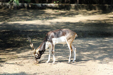 An Indian Blackbuck (Antilope Cervicapra, Also Known As The Indian Antelope) Busy Eating A Dry Branch (broken) Of A Tree.