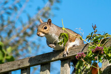 Grey Squirrel (Sciurus Carolin...