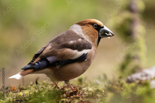 Fotografía Closeup of a hawfinch on the blurred background, a small passerine bird with bro