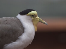 Closeup Of A Masked Lapwing Bird, Profile Shot On The Blurred Background