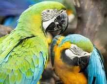 Portrait Of Two Blue-and-yellow Macaws
