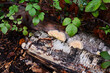 canvas print picture - Bracket fungus growing on the side of a rotting silver birch log