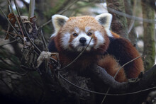The Red Panda, Ailurus Fulgens, Lies Up In The Branches And Watches The Photogarf