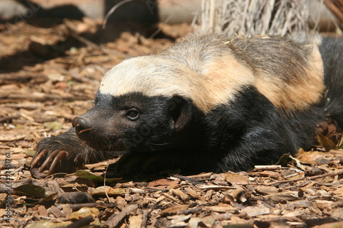 The honey badger, Mellivora capensis, is a rare beast in Africa Canvas Print