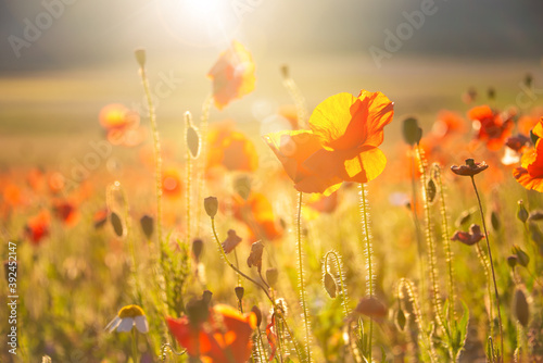 Fototapety, obrazy: Poppies and other summer wild flowers field in sunlight