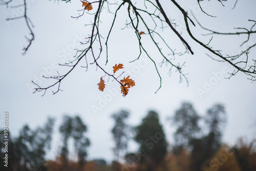 autumn leaves on a tree with landcape on thre background Canvas Print