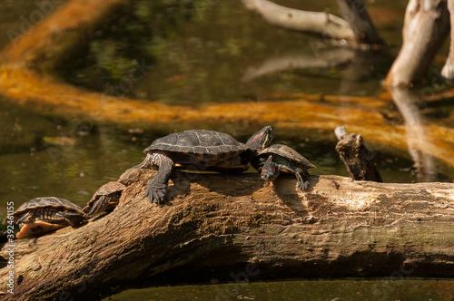 water turtles on a wooden log Fotobehang