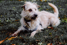 Closeup Shot Of Glen Of Imaal Terrier With Harness Resting On Green Grass