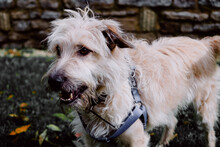 Closeup Shot Of Glen Of Imaal Terrier With Harness Standing On Green Grass