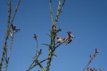 Distel Mit Blüte Und Samenstand, Blauer Himmel Als Hintergrund