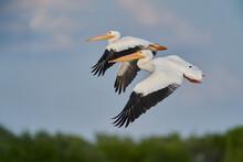 Selective Focus Shot Of Pelicans In Flight