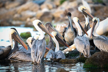 Closeup Shot Of The Group Of Pelicans On Blurred Background