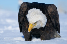 American Bald Eagle Perched On...