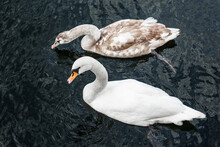 White Swan Swims On Black Water, Catches Fish