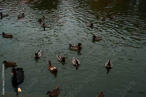 ptaki woda park zwierzęta łąbądź czarny