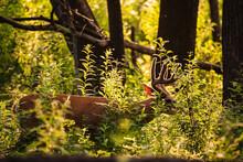 Backlit Male Deer Eating Under...