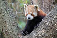 Cute Red Panda Sitting On Tree