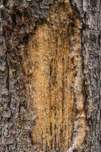 Baumharz Als Wundverschluss - Detail