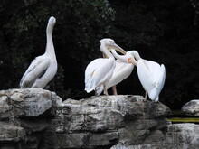 Four White Pelicans Stand On Large Rocks