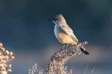 Says Phoebe With Bright Orange Chest Feathers Perched On Branch Looking To The Left
