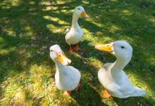 Three Curious White Ducks.