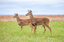 Adult And Fawn White-tailed Deer (Odocoileus Virginianus) Very Alert In  A Wisconsin Farm Field