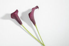 Two Purple Calla Lilies On Whi...