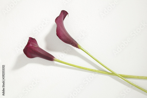 Fototapeta two purple calla lilies on white surface
