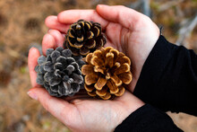 A Handful Of Three Colourful Pine Cones