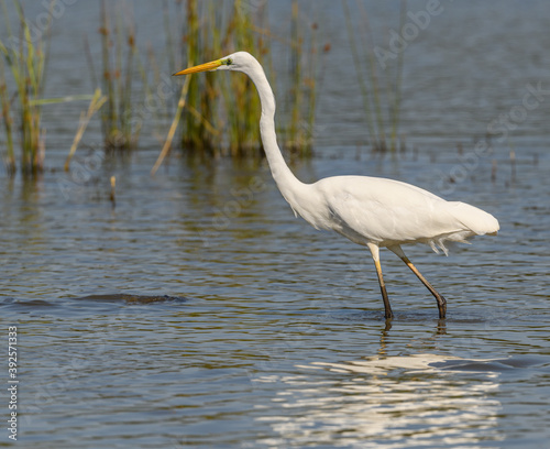 great egret (Ardea alba) alias common, large or great white egret or heron wading in pond